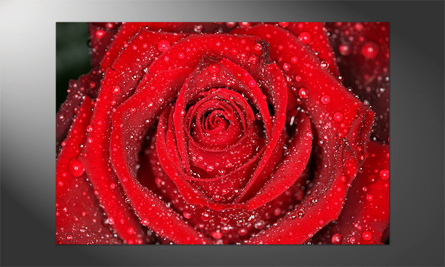 Das Premium Poster Morning Rose