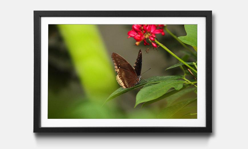 Das gerahmte Bild Brown Butterfly
