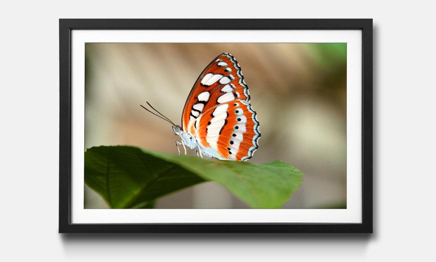 Das gerahmte Bild Orange Butterfly