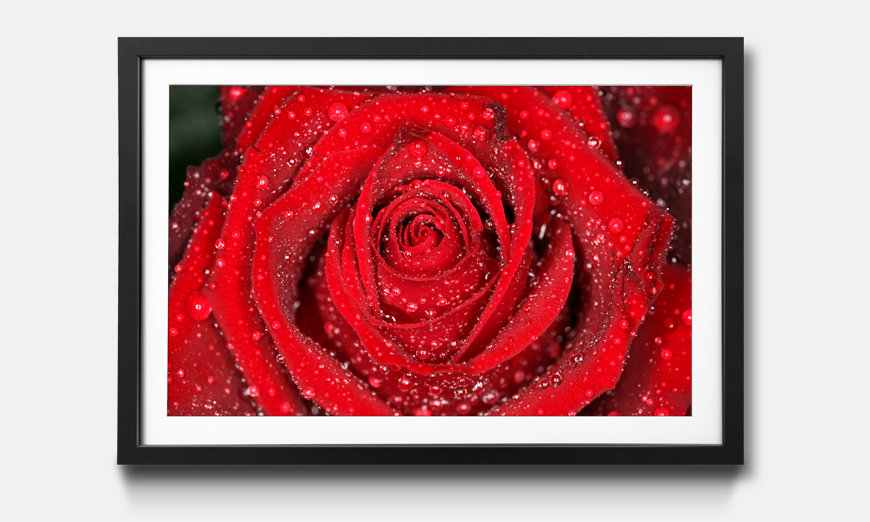 Das gerahmte Wandbild Morning Rose