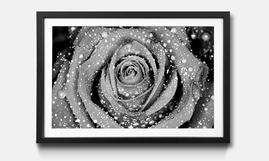 Der gerahmte Kunstdruck Morning Rose
