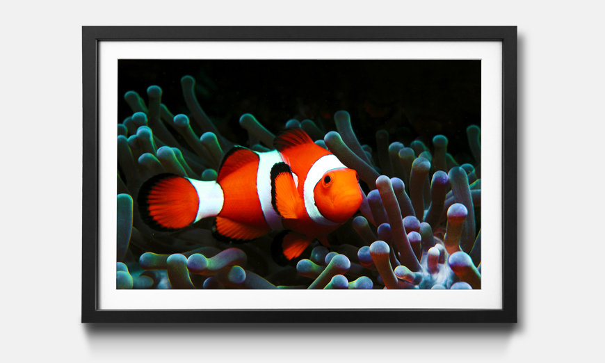 Wandbild gerahmt: Nemo